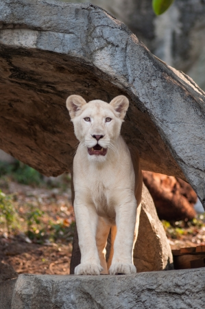 wildlife refuge: The white lion Panthera leo krugeri is occasionally found in wildlife reserves in South Africa