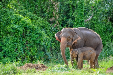 Thai mother elephant and calf eating vegetation at the Elephant Village Kanchanaburi, Thailand  photo