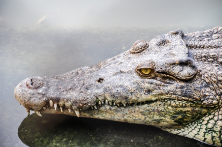 Portrait of a crocodile in the rivers  photo