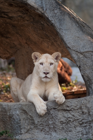 The white lion Panthera leo krugeri is occasionally found in wildlife reserves in South Africa  photo