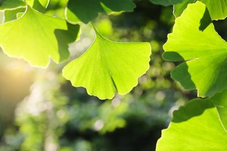 gingko leaf Reklamní fotografie