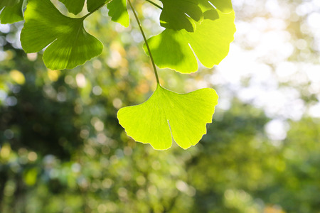 gingko leaf photo