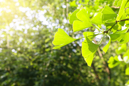 gingko: gingko leaf Stock Photo