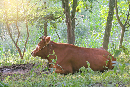cattle rest in the forest photo