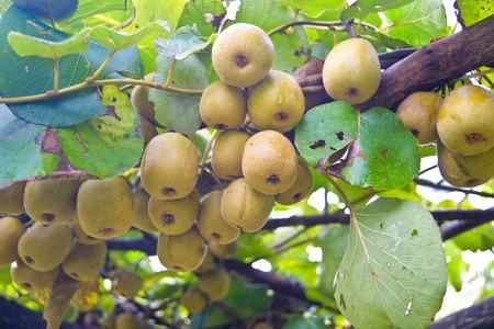 Kiwi fruit on the tree Reklamní fotografie