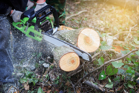 logger: Lumberjack logger worker cutting firewood timber tree in forest with chainsaw in mountain.