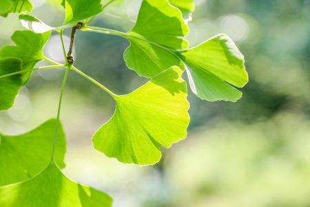 gingko: gingko leaf Stock Photo