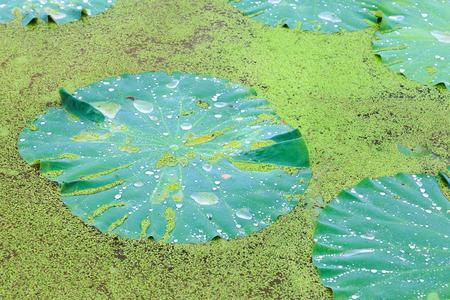 waterdrop: waterdrop on lotus leaf
