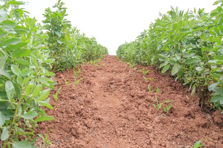 lima bean: lima bean on soil