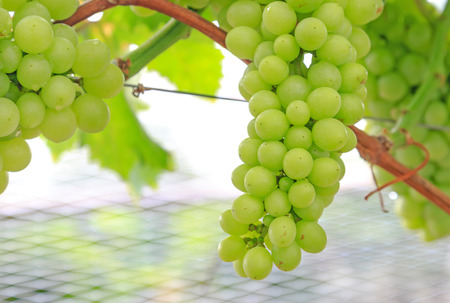 closeup view of green grape