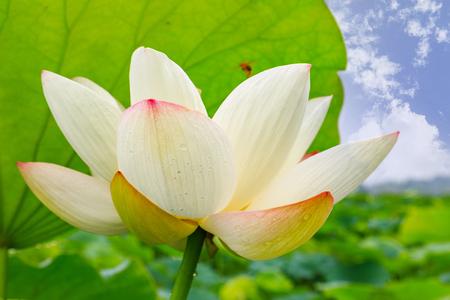 lotus in the outdoor