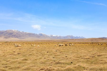 prairie with sheep