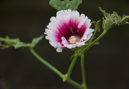 malvaceae: flower