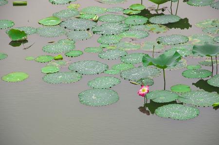 placid water: Lotus