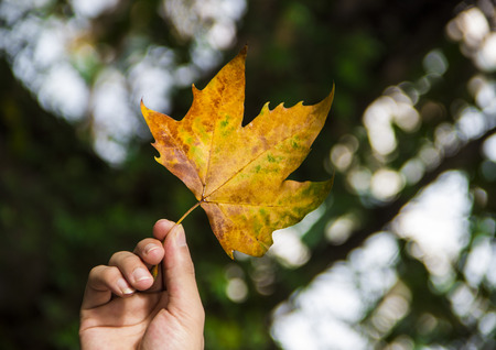 tranquillity: Sycamore leaf