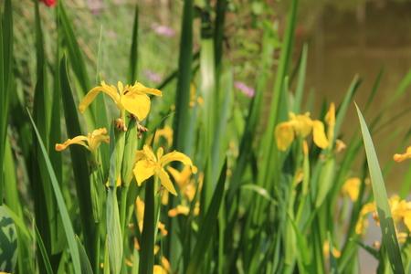 l natural: Iris pseudacorus Stock Photo