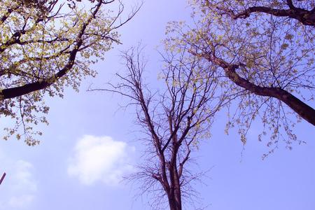 large trees: Three large trees