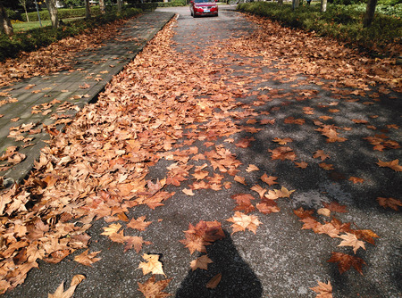 sicomoro: foglie caduti Sycamore Editoriali