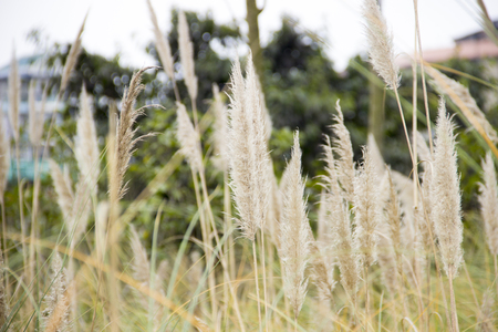 catkins: Reed catkins