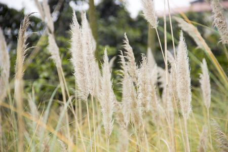 aquatic herb: Reed Stock Photo