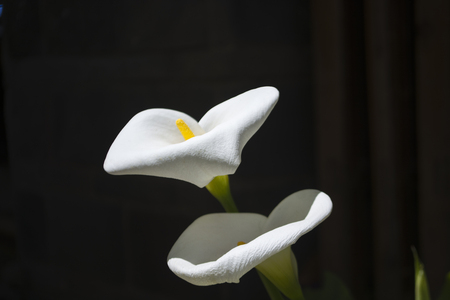 Close yup to calla flowers Stock Photo