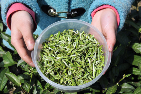 hubei province: pair of hands holding tea leaves Stock Photo