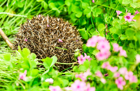 The hedgehog in the grass
