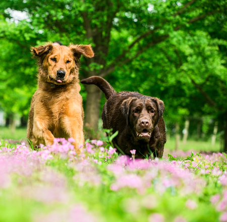 Golden Dog and Labrador play in the grass Stock Photo