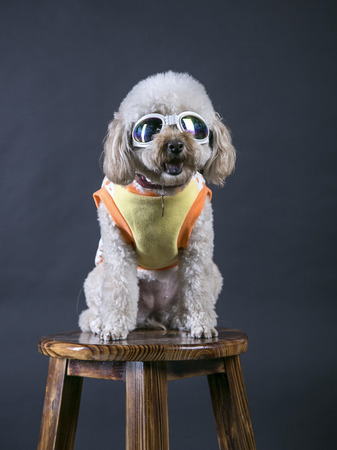 Poodle with sunglasses on a stool Stock Photo