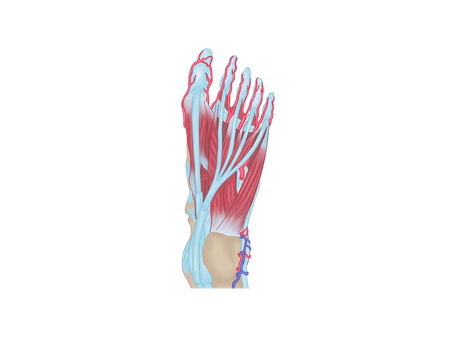 Medial and lateral malleolus
