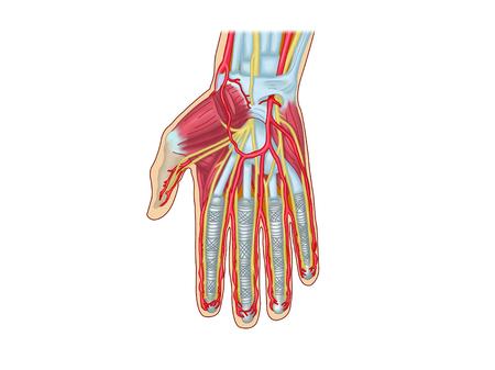 上肢の筋肉