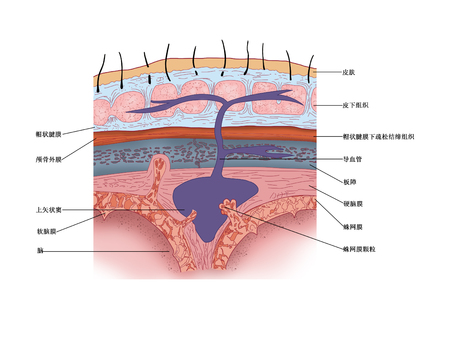 頭蓋の屋根の内部構造