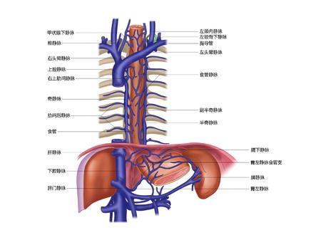 食道静脈 写真素材
