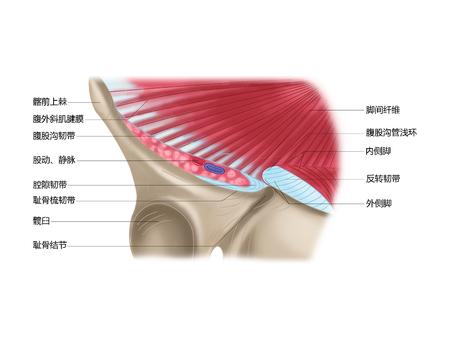 De aponeurose van de externe schuine spier en de structuur van zijn vorming