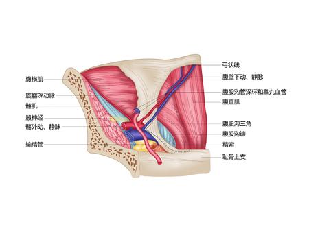 Inguinale driehoek (mediale weergave) Stockfoto