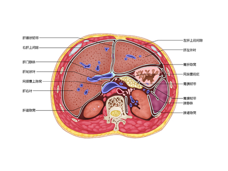 The cross section of the inferior phrenic space Stock Photo