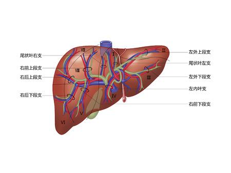 Verband tussen Glisson-systeem en leversegment