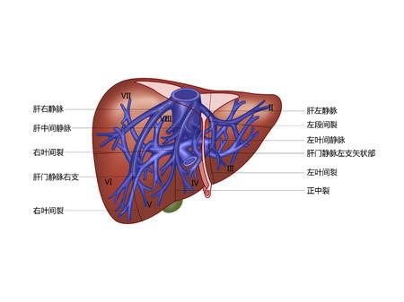 肝内胆管と肝の割れ目との関係 写真素材