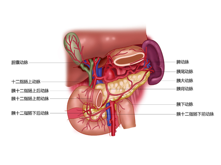 Pancreatic pancreatic artery Stock Photo