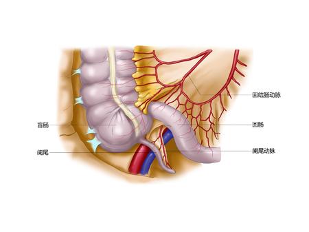Bijlage en appendix Slagader, appendix en appendix Slagader