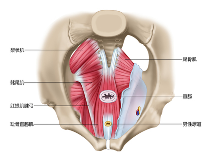 Superior view of pelvic diaphragm muscle of pelvic diaphragm Stock Photo