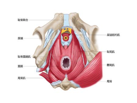 Pelvic diafragma bekken diafragma inferieure weergave Stockfoto