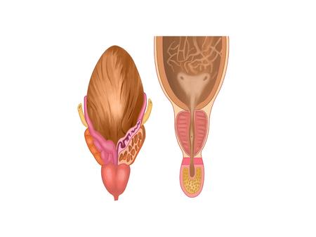 膀胱、前立腺