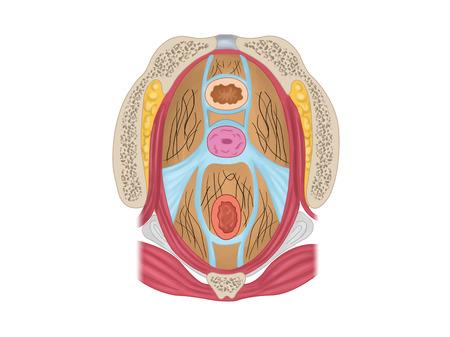 子宮と子宮の固定装置