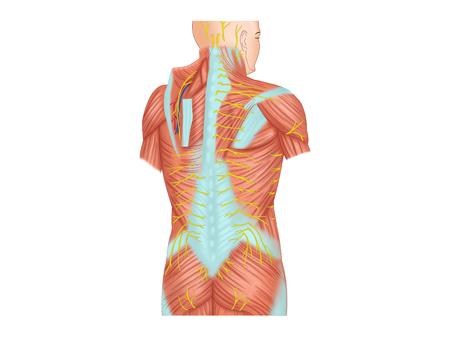 背と皮膚神経