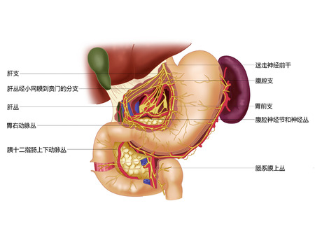 human liver: Nerves of the stomach and duodenum