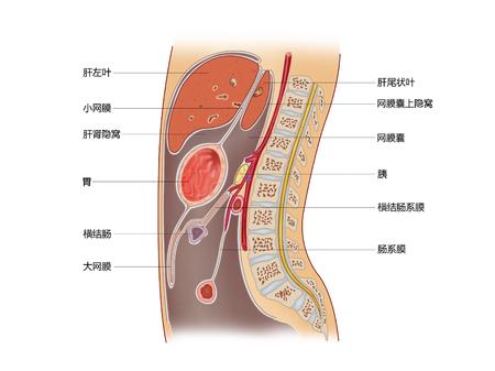 腹部の正中矢状面