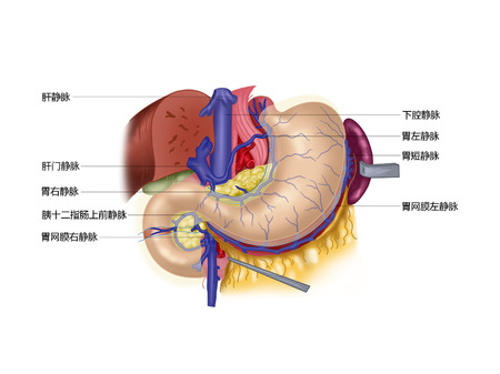 duodenum: Nerves of the stomach and duodenum