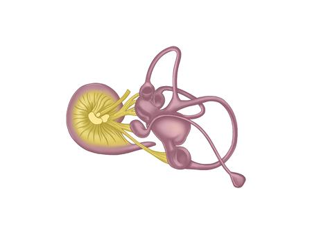 Otic cochlea