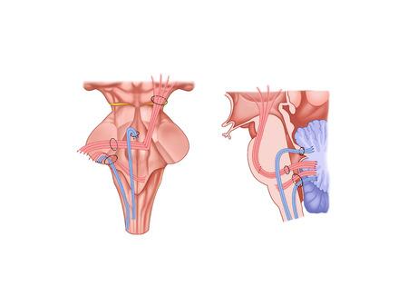 Vezels van cerebellum, cerebellum en voet Stockfoto